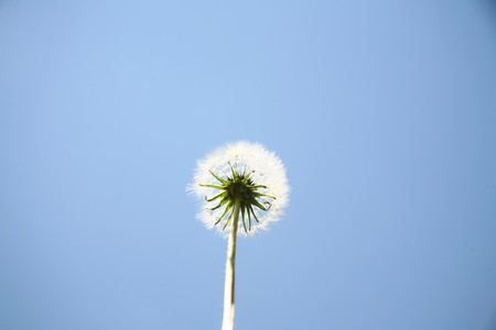 villus: Dandelion flowers lingers in the sky towards the view