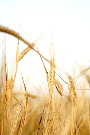 wheat background Stock Photo - 7428296