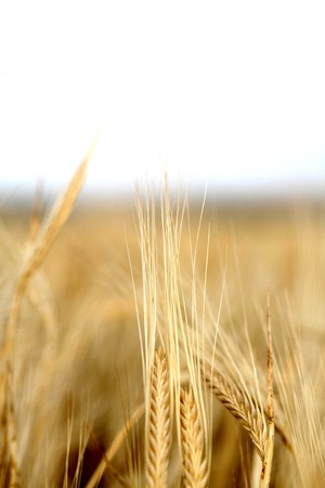 wheat background photo