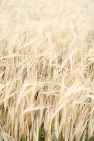 wheat background Stock Photo - 8541754