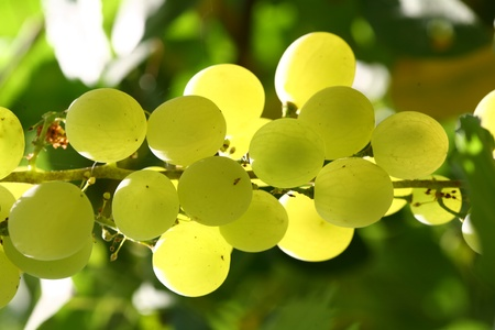 the grapes that grow on trees in the garden a new image photo
