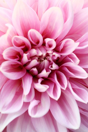 still life flowers: Abstract background of pink flower petals