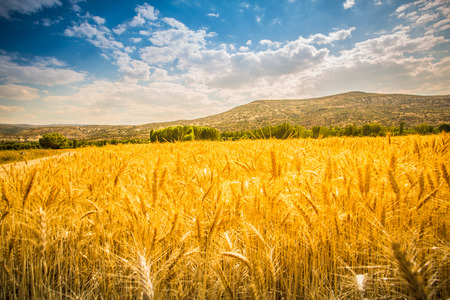 field of wheat background Banco de Imagens