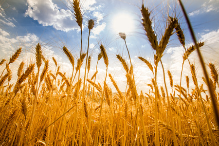field of wheat background Stock Photo