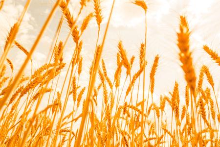 konya: field of wheat background Stock Photo