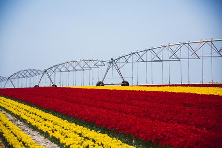 Tulip season Stock Photo