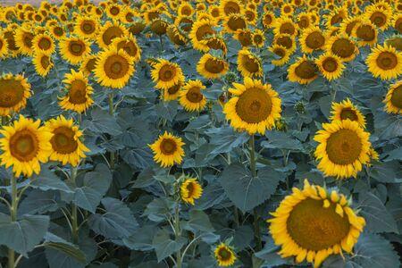 Field of sunflowers in clear sky Stok Fotoğraf