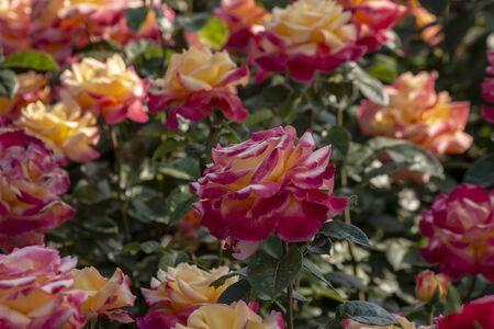 Rose garden with various roses (red rose, yellow rose, white rose, pink rose, purple rose, orange rose, red white rose), Colorful Flowers Stok Fotoğraf