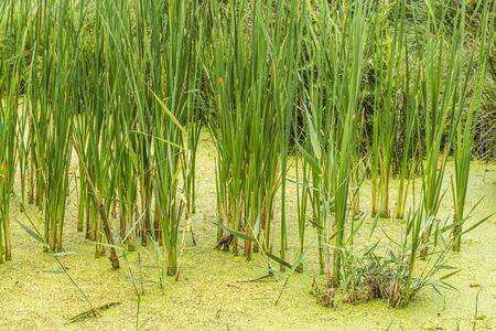 Wild swamp plants, Turkey