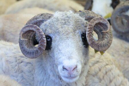 Animal for the Feast of Sacrifice. (Kurban Bayrami, aid al adha ) sacrifice holiday. Turkey.