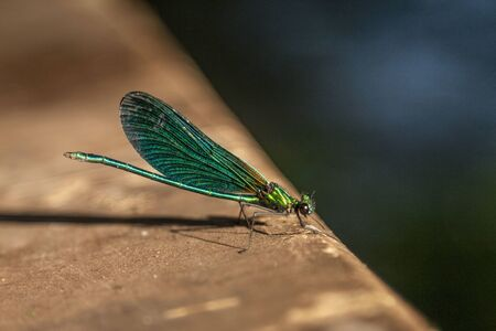 A green damselfly sits with folded wings on a green leaf. Stok Fotoğraf