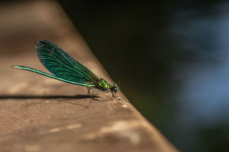 A green damselfly sits with folded wings on a green leaf. Stockfoto