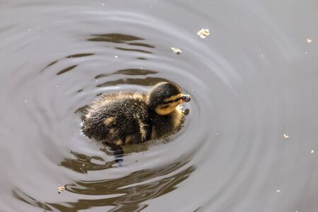 puppy duck swimming in the water Stok Fotoğraf - 131358918