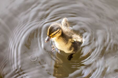puppy duck swimming in the water Stok Fotoğraf - 131358925