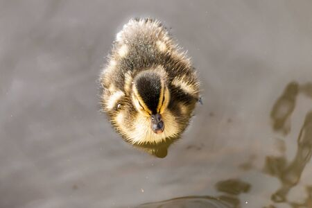 puppy duck swimming in the water Stok Fotoğraf - 131358926