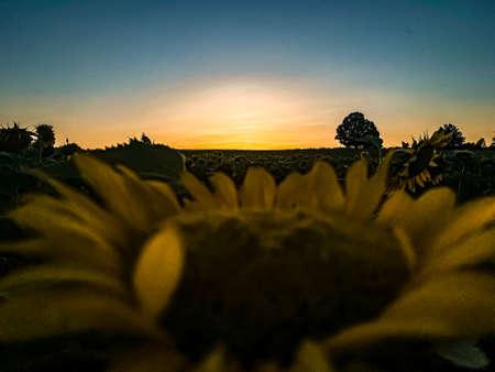 Sunset on Sunflower farm Thrace Turkey Europe