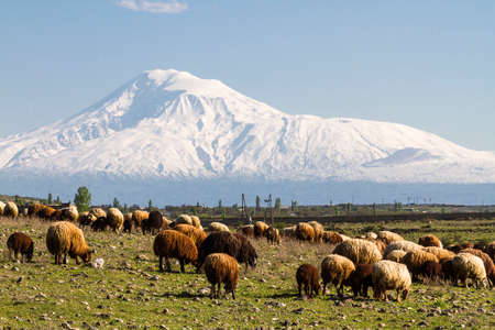 Herd of sheep with the Mount Ararat in the background, Armenia Archivio Fotografico