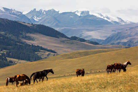 Horses in the Assy plateau where the nomads go to spend the summer, Kazakhstan.