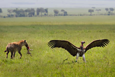 Spotted Hyena taking the kill from the lappet faced vulture, in Maasai Mara, Kenya