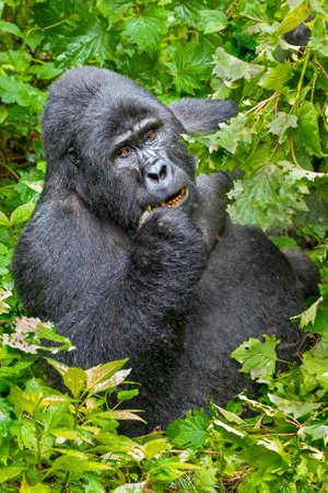 Silverback Mountain Gorilla, in Bwindi, Uganda