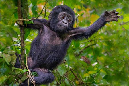 Young mountain gorilla, Bwindi, Uganda