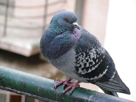 landed: Pigeon landed on a fence.