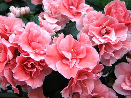 Azalea indica with pink flowers decoration