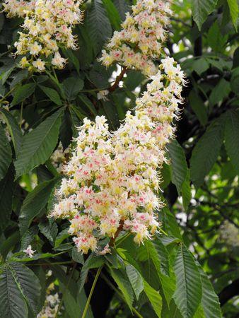 aesculus hippocastanum: Blossom of Aesculus hippocastanum in May. Stock Photo