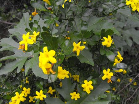 shurb: Mediterranean shrub with beautiful yellow flowers.