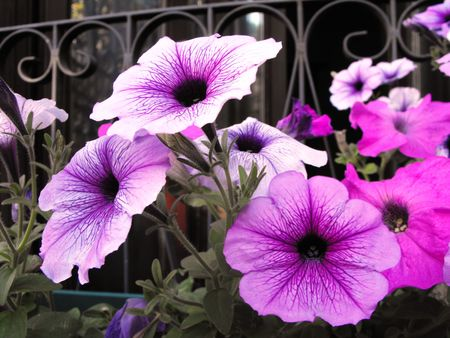 Colors of purple petunia grown as a pot plant.