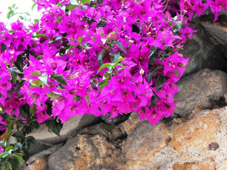 widespread: Widespread along the Mediterranean scandent shrub with beautiful light purple color. Stock Photo