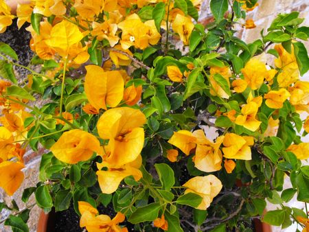 shurb: Mediterranean shrub with beautiful orange flowers Stock Photo