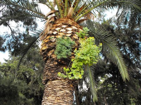 Date palm with older it parasite plant.