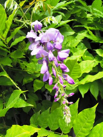 glycine: Color glycine-wrap tree plant with highly fragrant flowers. Stock Photo