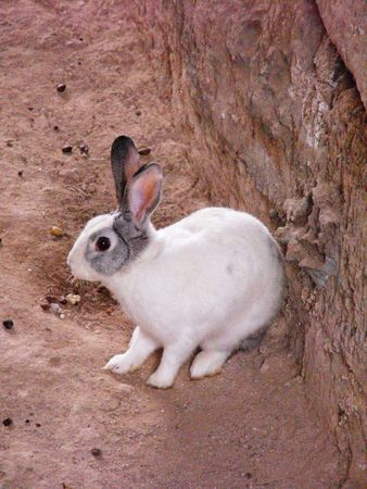 freely: Domestic rabbit live freely between ancient debris Stock Photo