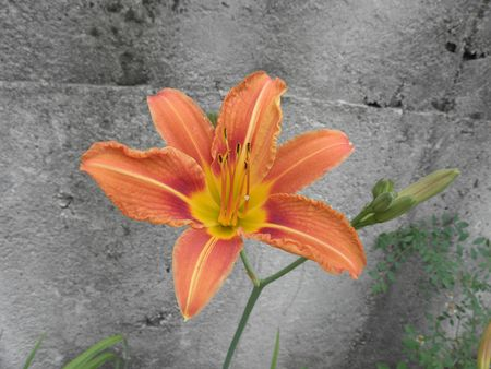 perennial: Color of day-lily - perennial like lilium. Stock Photo