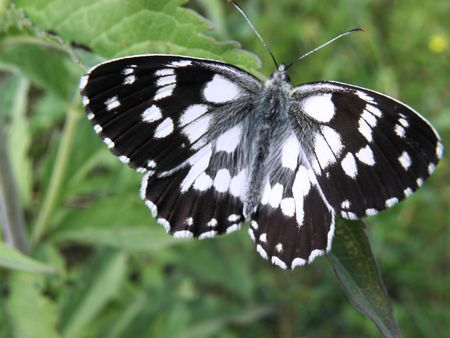 Butterfly of the family -Nymphalidae-Melanargia galathea widespread in Europe collect sun perched on grass. Stock Photo