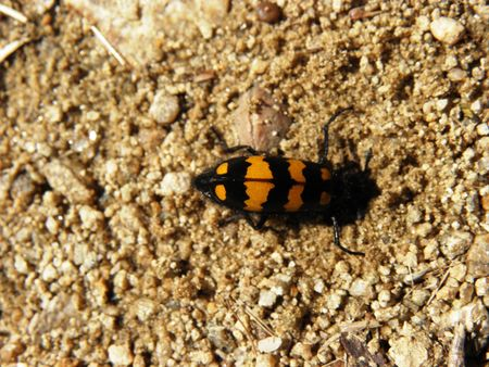 corpses: Beetle of the family-Sylphidae feeding with corpses, excavate a hole to laid eggs.