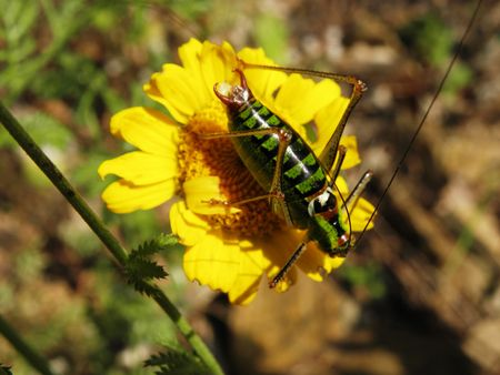 wingless: Wingless grasshopper jumped on forest yellow flower.
