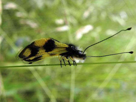 predatory:  Predatory  of the order Neuroptera, perched on grass stalk Stock Photo