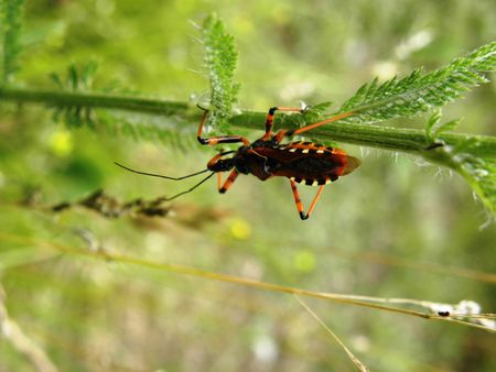 moves: Predator bug moves slowly in search of prey.