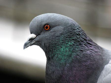Head of domestic pigeons.