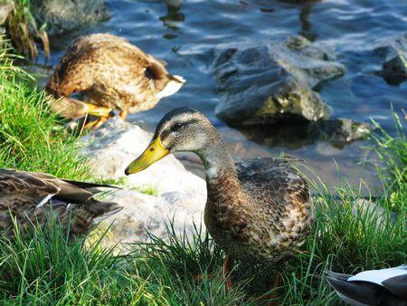 Patos fuera de un río.  Foto de archivo - 6297541