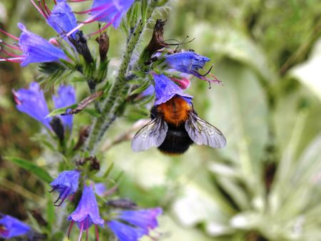 gathers: Bumblebee gathers nectar of the flowers. Stock Photo