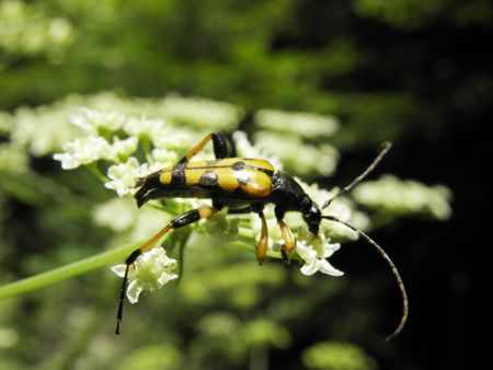 cerambycidae: Beetle with black spots in the family Cerambycidae logging and eat the colors of the herb. Stock Photo