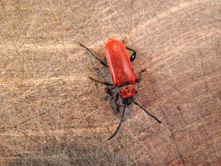 cerambycidae: New hatched red beetle in the family Cerambycidae. Stock Photo