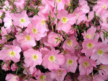 curb: Low curb pink flower with beautiful colors. Stock Photo