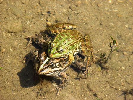 Breeding season of the Green Frog. photo