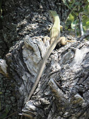 Green lizard climbed a small tree. Stock Photo - 7563829