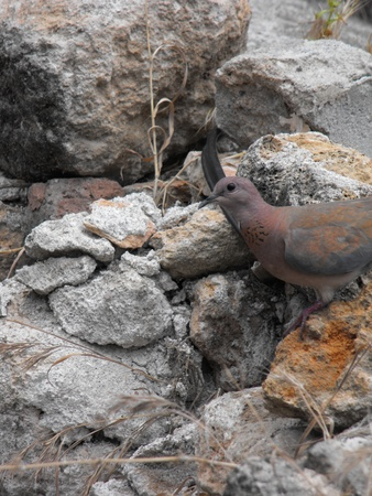 curiously: Peeping curiously dove perched on a rock pieces  Stock Photo